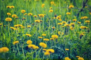 dandelions grow in our area. call for services today